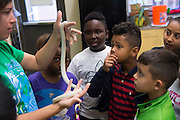 """Students learn about snakes at Lorenzo De Zavala Environmental Science Academy in Grand Prairie, Texas on October 7, 2016. """"CREDIT: Cooper Neill for The Wall Street Journal""""<br /> PUBLICS"""