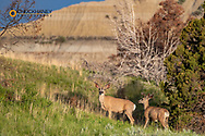 Mule deer bucks in velvet antlers in Theodore Roosevelt National Park, North Dakota, USA