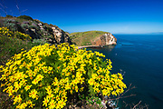 Giant Coreopsis above Scorpion Cove, Santa Cruz Island, Channel Islands National Park, California USA