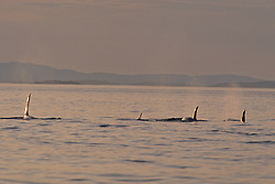 Orca At Sunset