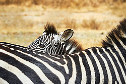 A calf peeking over the back of mother zebra.<br />