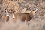 Wyoming mule deer buck during fall rut
