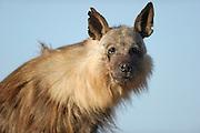 Brown hyena (Parahyaena brunnea oder Hyaena brunnea), Tsau-ǁKhaeb-(Sperrgebiet)-Nationalpark, Namibia | Schabrackenhyäne (Parahyaena brunnea oder Hyaena brunnea), Sperrgebiet National Park, Namibia