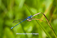 06084-001.01 Springwater Dancer damselfly (Argia plana) male in fen, Phelps Co., MO