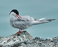 Arctic Tern (Sterna paradisaea). Image taken with a Nikon N1V2 camera, FT1 adapter, and 80-400 mm VR lens