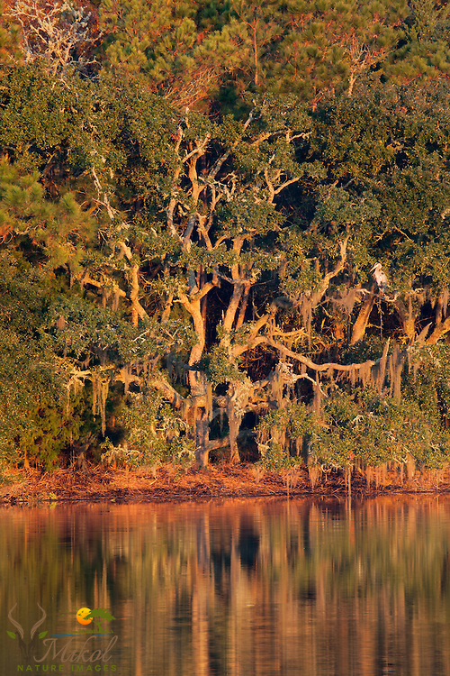Live Oak with Heron reflected in marsh