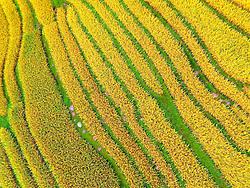 GUILIN, Sept. 7, 2016 (Xinhua) -- Photo taken on Sept. 7, 2016 shows paddy fields in Shandong Village, Longsheng Town of Guilin, south China's Guangxi Zhuang Autonomous Region.  (Xinhua/Pan Zhixiang) (zwx) (Credit Image: © Pan Zhixiang/Xinhua via ZUMA Wire)