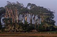 Egrets in Cypress Trees, near Samoa on the tidal flats of Humboldt Bay, Humboldt County, CALIFORNIA