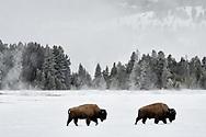 Two bison walk across a snowy landscape