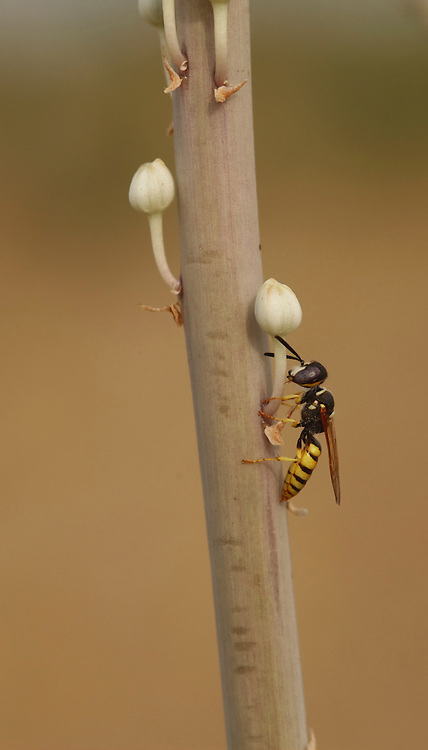 An adult female worker wasp Polistes sp. on a plant's stem. Polistes sp. typically feeds on insects, fresh or rotting meat, even fish. The meat is also fed to developing wasp larvae as a high protein diet. Photographed in Israel in October