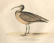 Eskimo curlew (Numenius borealis), or the northern curlew color plate of North American birds from Fauna boreali-americana; or, The zoology of the northern parts of British America, containing descriptions of the objects of natural history collected on the late northern land expeditions under command of Capt. Sir John Franklin by Richardson, John, Sir, 1787-1865 Published 1829