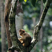 Pig-tailed Macaque, (Macaca nemestrina) In rain forest  eating fruit. Malaysia.