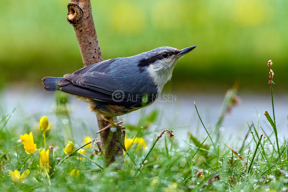 Eurasian Nuthatch (Sitta europaea) from Hidra, south-western Norway in May.