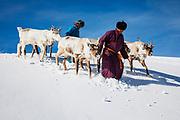 Tsaatan reindeer herders leading their reindeer (Rangifer tarandus) down a snowy hill in the mountains, Khovsgol Province, Mongolia
