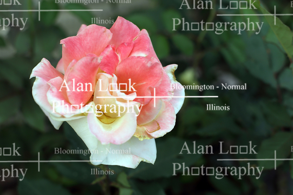 Flowers - Rose - pink and white