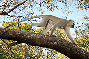 A male vervet monkey (Chlorocebus pygerythrus) traversing a tree limb in Matobo National Park, part of the Motopos Hiils area in Zimbabwe. The park is an U.N. UNESCO World Hertiage Site. © Michael Durham / www.DurmPhoto.com