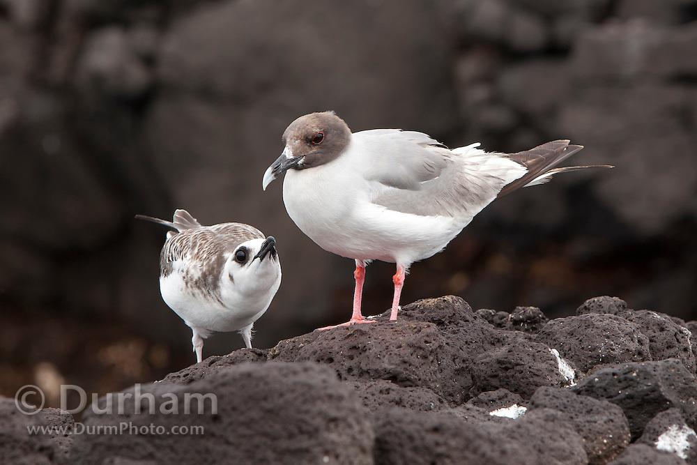 Swallow-tailed gull (Creagrus furcatus) chick (left) and female parent. South Plaza Island, Galapagos Archipilego, Ecuador.