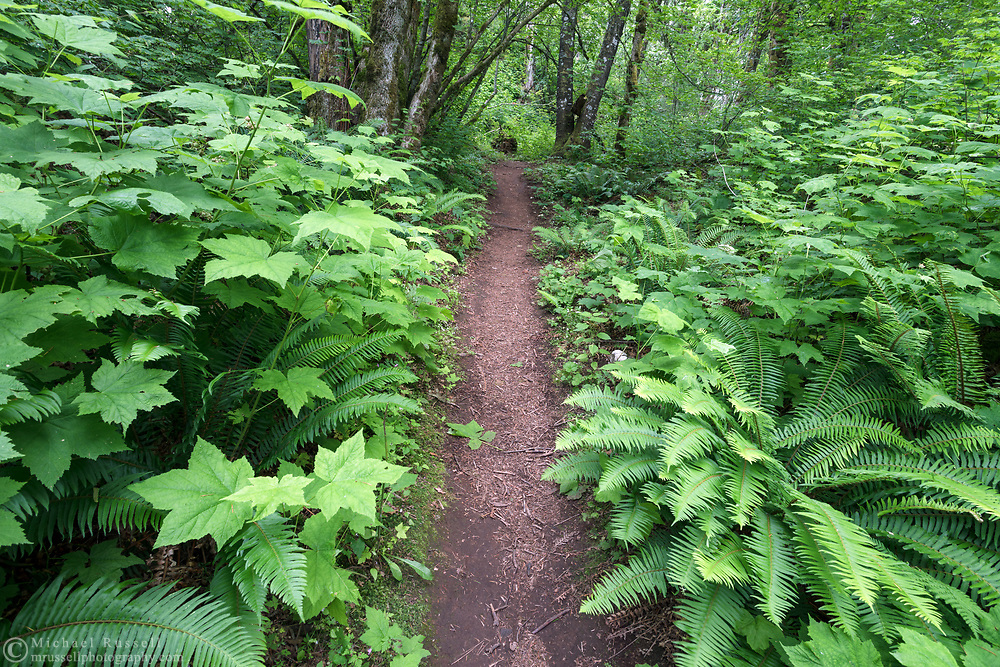 Thimbleberry (Rubus parviflorus) and Sword Ferns (Polystichum munitum) are the main species of lush foliage along a trail at Hillkeep Regiona Park in Chilliwack, British Columbia, Canada.