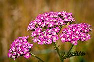 Wild pink yarrow growing in Orleans