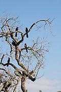 Pouso Alegre_MG, Brasil...Passaros no galho de uma arvore seca...Birds on the dry branch...Foto: LEO DRUMOND / NITRO.....