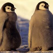 Emperor Penguin, (Aptenodytes forsteri) Pair of chicks. Atka Bay. Antarctica.