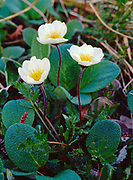 Mountain Avens or Eight-petaled Dryas, Dryas octopetala, and Netted Willow, Salix reticulata, alpine meadow along the Telaquana River, Lake Clark National Preserve, Alaska.