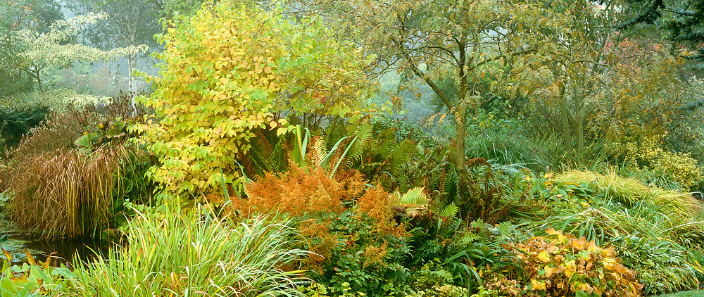 Autumn border at Glen Chatntry. Strong, contrasting shapes of carex, astilbe, iris and ferns. The foliage of Cornus sibirica 'Midwinter Fire' and Gleditsia tricanthos 'Ruby Lace'just turning colour.