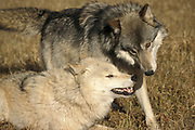Timber or Grey Wolf, Canis Lupus,  Minnesota USA, controlled situation, pair greeting each other,