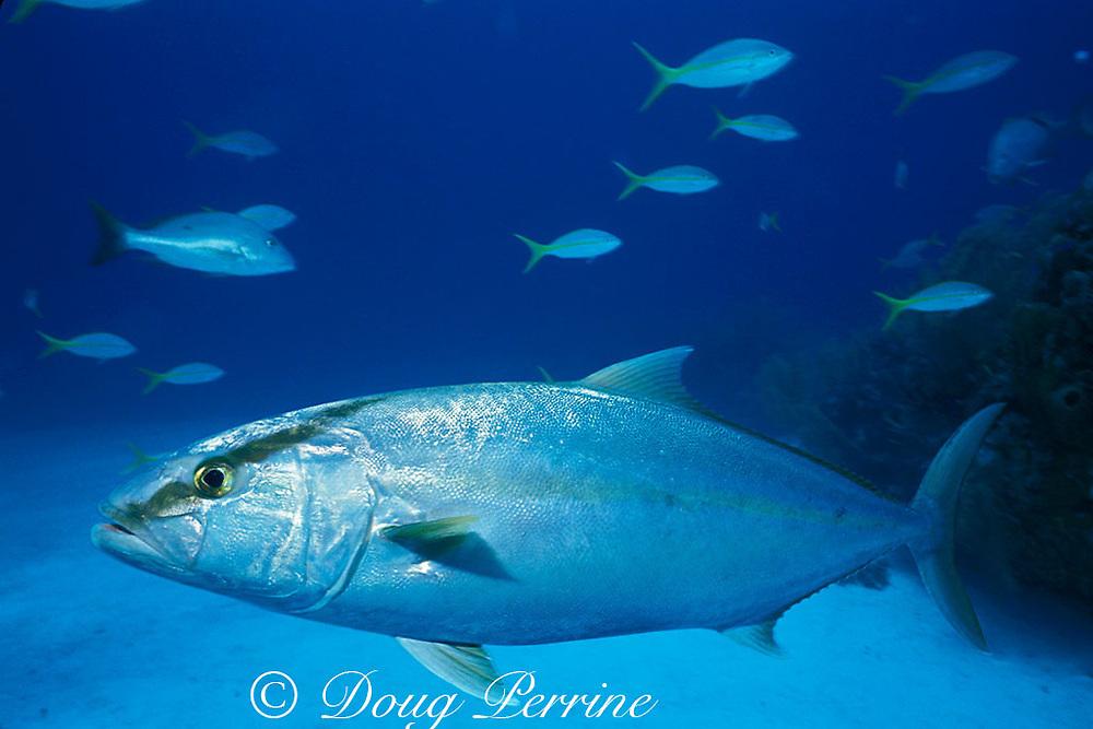 amberjack, Seriola dumerili, Bahamas ( Western Atlantic Ocean )