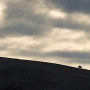 A lone Muskox stands atop a ridge in Alaska.