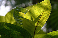 """Leaf shadows behind a large plant leaf that is illuminated from behind by the sun show the wonderful shapes and patterns of this plant.<br /> <br /> For IMAGE LICENSING just click on the """"add to cart"""" button above.<br /> <br /> Fine Art archival paper prints for this image as well as canvas, metal and acrylic prints available here:"""