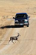 Mule deer crossing gravel road in front of pickup in Wyoming