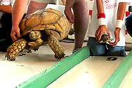 Robin Zielinski/Sun-News<br /> Jumbo, left, a 17-year-old African Spurred Thigh Tortoise, takes on Snappy, a small box turtle in the lane next to him, as turtles of all sizes participate in the 22nd Annual San Juan Turtle Fiesta Race on Sunday at the Shrine and Parish of Our Lady of Guadalupe Church in Tortugas.