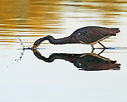 A Tri-colored heron grabs a meal in a tidal pool at Ding Darling National Wildlife Refuge on Sanibel Island, Florida