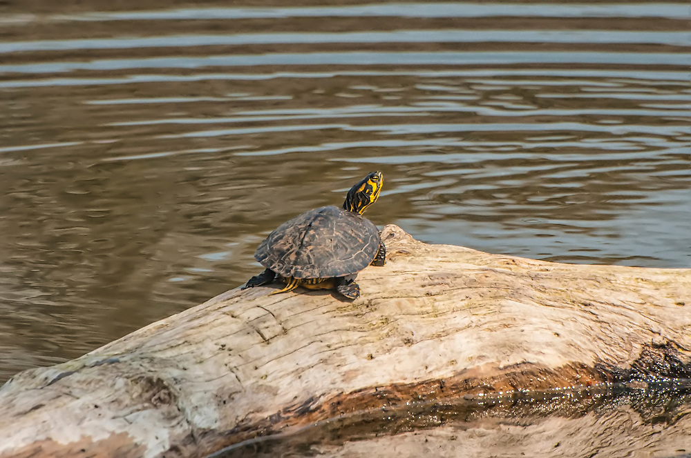 Close cousin of the more recognizable red-eared slider, the yellow-bellied slider is very common and seen in virtually any freshwater habitat in Alabama, Georgia, the Carolinas, Virginia, and Northern Florida.