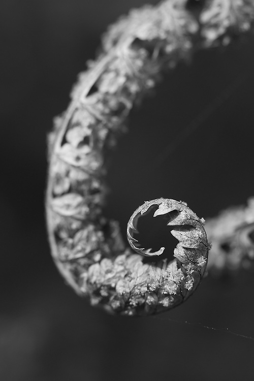 Macro, black and white of curled, dried fern in the autumn.