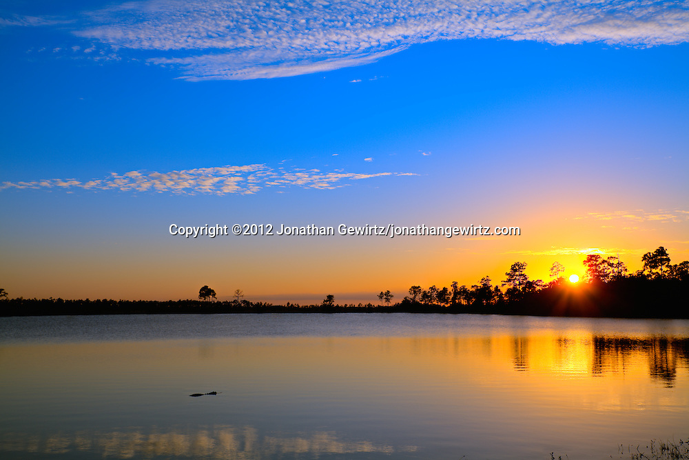 A solitary American Alligator (Alligator mississippiensis) floats on the surface of Pine Glades Lake in Everglades National Park, Florida shortly after sunset. WATERMARKS WILL NOT APPEAR ON PRINTS OR LICENSED IMAGES.