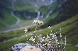 THEMENBILD - ein Edelweiß auf einem Stein vor einer Bergkulisse, aufgenommen am 09. August 2018, Kaprun, Österreich // an edelweiss on a stone in front of a mountain backdrop on 2018/08/09, Kaprun, Austria. EXPA Pictures © 2018, PhotoCredit: EXPA/ Stefanie Oberhauser