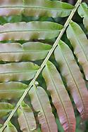 (Angiopteris sp.  lygodiifolia?) Yangmingshan National Park, Taipei, Taiwan