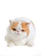 Grand Champion and Grand Premier Icemoor Tarandot (Indy), <br /> Breed Cream tabby & white exotic shorthair