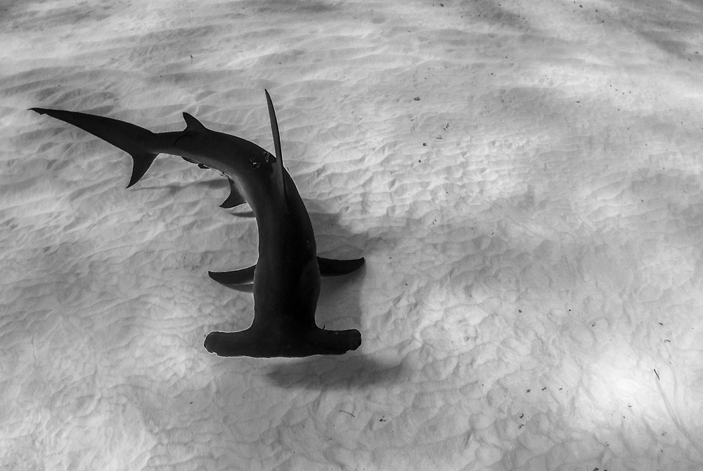 A great hammerhead shark (Sphyrna mokarran) uses her huge cephalofoil to scan the sandy seabed for stingrays or other food.