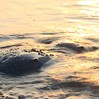 A pair of Atlantic horseshoe crabs (Limulus polyphemus) are almost covered by the surf while spawning at sunrise, Slaughter Beach, Delaware.