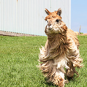 20180102 BR Llamas and Alpacas