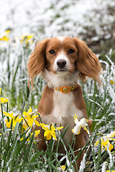© Licensed to London News Pictures. 17/03/2018. Gravesend, UK. Pip the 11 month old Cockapoo pictured in snowy daffodils in Gravesend this morning. Snow has fallen in Gravesend this morning after what has been called the Mini Beast from the East weather front reached the UK. Photo credit : Rob Powell/LNP