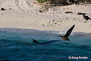 tiger shark, Galeocerdo cuvier, makes unsuccessful lunge at fledgling black-footed albatross chick, Phoebastria nigripes, at beach where the chicks gather to prepare to take their first flight, East Island, French Frigate Shoals, Papahanaumokuakea National Monument, <br /> Northwest Hawaiian Islands ( Central Pacific Ocean ) #1 in sequence of 3