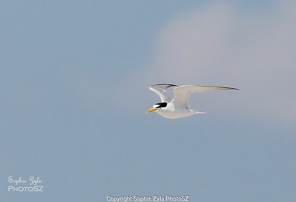 Least tern at Milford Point