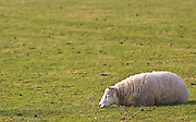 Sheep resting, Gloucestershire, England, United Kingdom