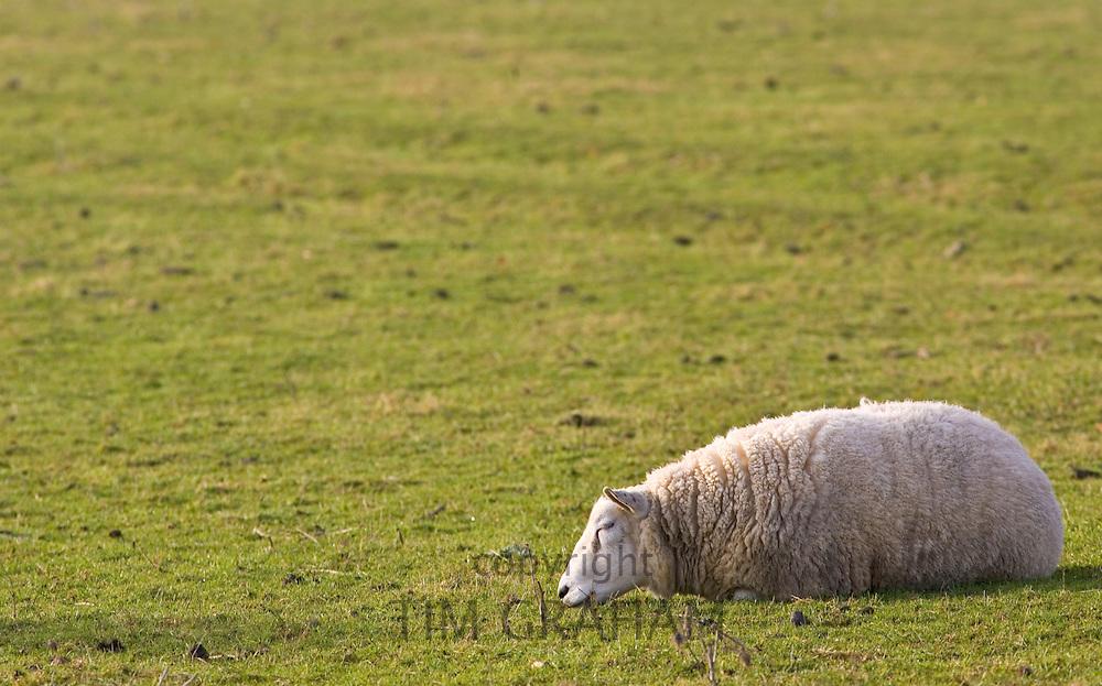 Sheep resting, Gloucestershire, England, United Kingdom