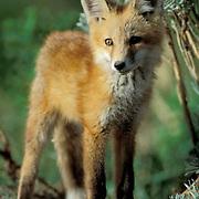Red Fox, (Vulpus fulva) Portrait of young pup near den. Spring.