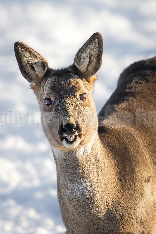 Smiling Roe Deer   Smilende Rådyr